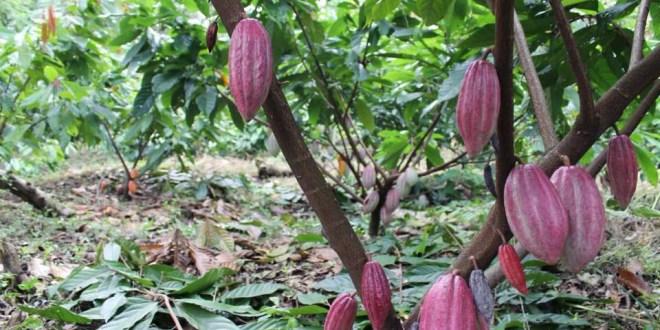 El Salvador se prepara con políticas públicas para el sector cacaotero