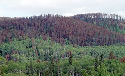Honduras controla insecto que destruyó un cuarto de sus bosques de pino
