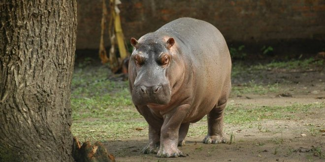 Parque zoológico no comprará otro hipopótamo y se convertirá en  reserva animal