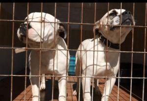 El Ayuntamiento de Callosa asegura no haber recibido factura de APADAC tras su anuncio de cese de la recogida de animales abandonados