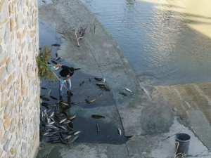 La CHS y el Ayto de Orihuela quieren transmitir tranquilidad a los ciudadanos por el episodio de peces muertos