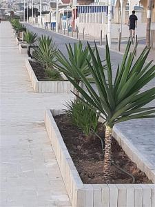 Yucas, palmeras y taráis en los paseos de la playa de La Mata