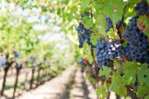 El Gobierno distribuye a la Comunidad Valenciana 7'6 millones de euros para reestructuración y reconversión del viñedo, y la lucha contra las plagas