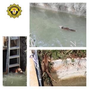 La Policía Local de Dolores salva a un zorro que había caído en una acequía