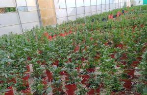 Incautadas más de 5.000 plantas de marihuana en Pilar de la Horada