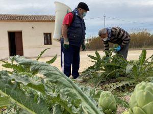 Almoradí realiza su primer corte de alcachofas solidario