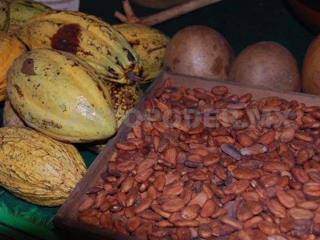 Cacao criollo producido en Chiapas es el más exportado | Diario de Palenque