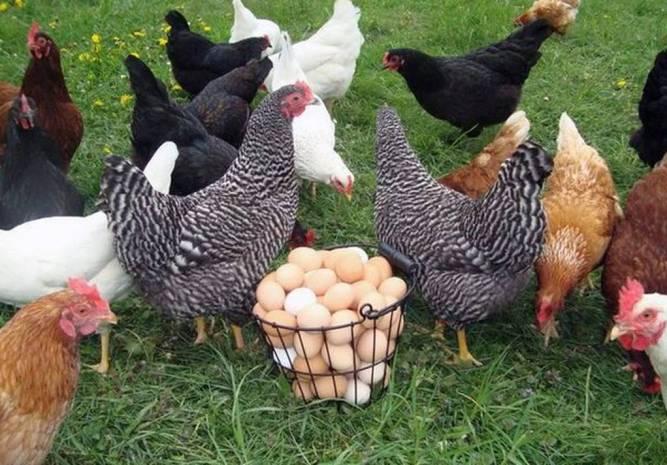 Querétaro destaca en producción de pollo y huevo - Diario de Querétaro
