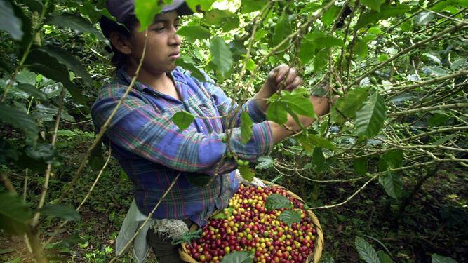 Recolección del café en un cultivo de Nicaragua.