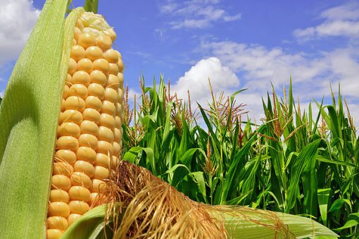 Ear of corn against a field under clouds