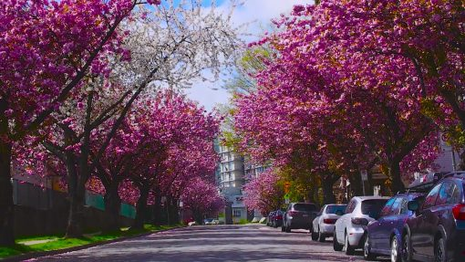 flores-de-cerezo-Vancouver-Canada-primavera