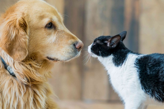 A golden labrador and a black and white kitten play together on a hardwood floor. The cat sniffs the dog's nose.