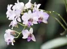 Nesta sexta-feira, o bairro da Liberdade recebe a maior exposição de orquídeas de São Paulo