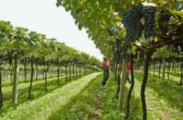 São Roque: da água para o vinho