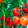 Productores de tomate aprenden a calcular su huella de carbono en Arica