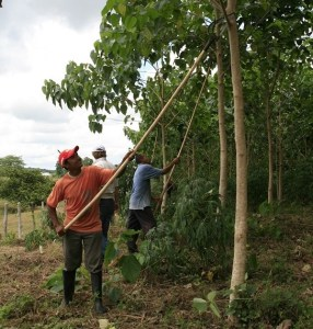 Farmer cutting branches