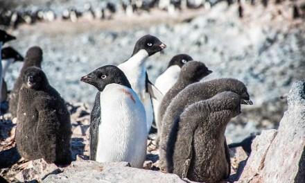 Pingüinos portadores de influenza en Antártica podrían haber sido infectados por patos desde Norteamérica