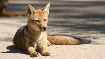 Zorros de Reserva Nacional ya no comen residuos gracias a investigación de estudiantes UACh