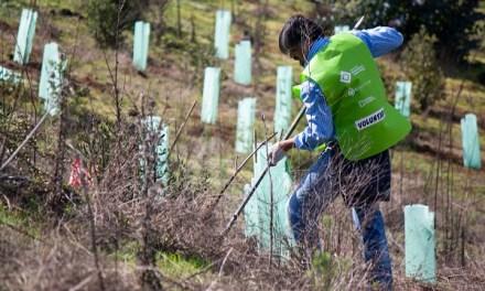 Voluntarios reforestan casi cinco hectáreas en la región del Maule tras recaudación de fondos en Lollapalooza