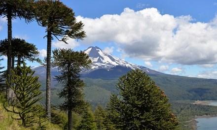 La Araucaria es declarada en peligro de extinción en zona de la Cordillera de Nahuelbuta