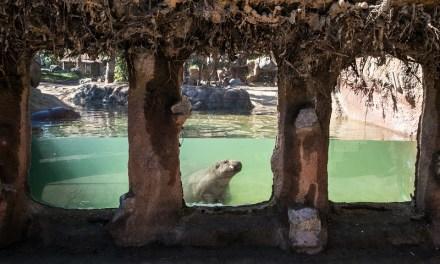 Buin Zoo inauguró hábitat de Hipopótamos Pigmeo con visión subacuática