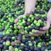 Aceite de oliva chileno se abre camino en mercados internacionales de la mano de la sustentabilidad