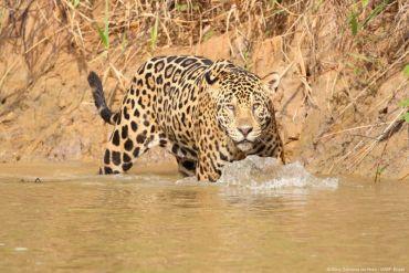 WWF pide a gobiernos de América Latina cumplir con el Plan Jaguar 2030