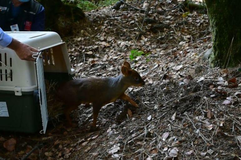 Pequeña cría de pudú fue liberada exitosamente en bosque nativo del Parque Alessandri de Coronel