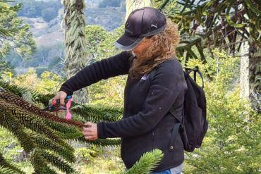 Investigación del Laboratorio Salud de Bosques de la UACh proporcionará información sobre insectos asociados a la araucaria