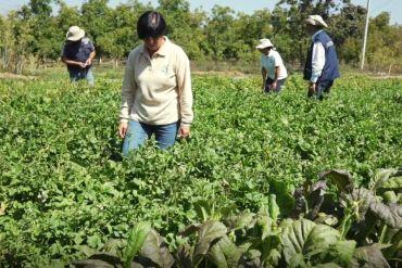 INIA y FIA presentan avances para mitigar de manera sustentable plaga que afecta hortalizas de alto consumo en hogares chilenos