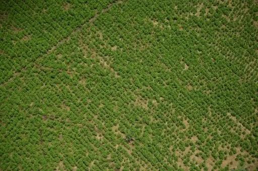 Cocaleros en Colombia siguen sembrando y recogiendo pese a parálisis global