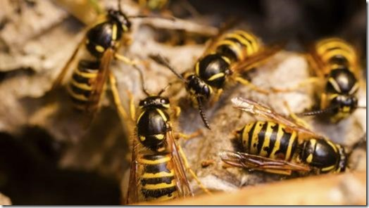 Plague of wasps