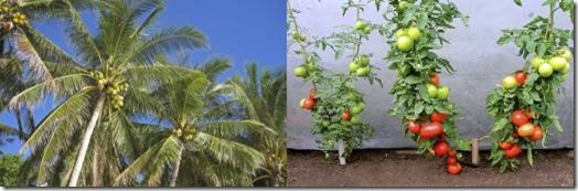 Coconut Palm vs Tomato Vine