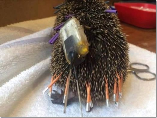 Hedgehog festooned with a radio and various other tags