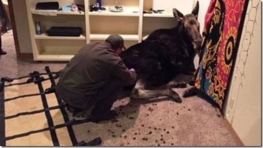 Moose being sedated and removed