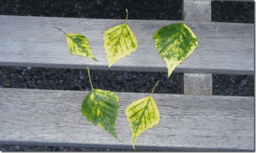 Leaves suffering from chlorosis
