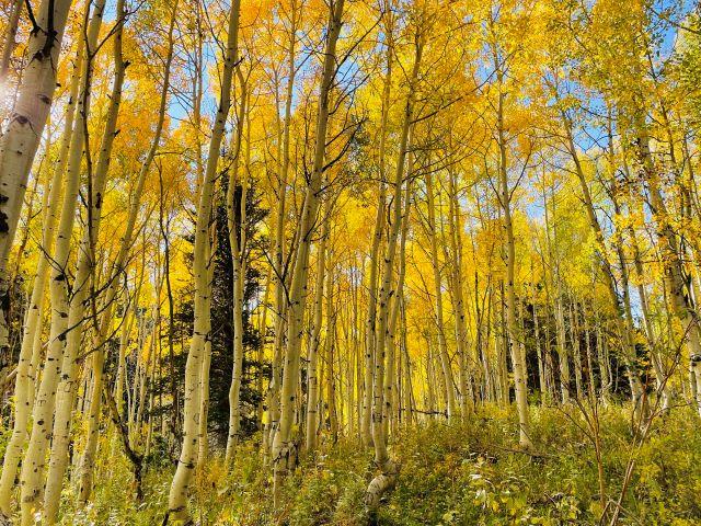 Fall Scenery in Utah: Gold Aspens on the Alpine Loop