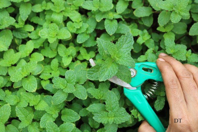 growing mint in containers