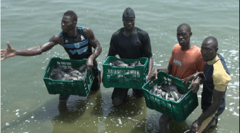 Aquaculture : La production du Sénégal estimée à 2082 tonnes de poissons.