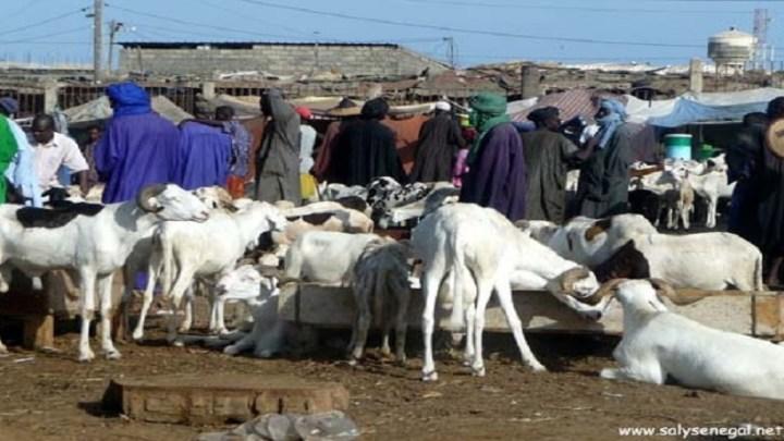 Insalubrité à Foirail : Les éleveurs confrontés à une baisse de leur chiffre d'affaires.