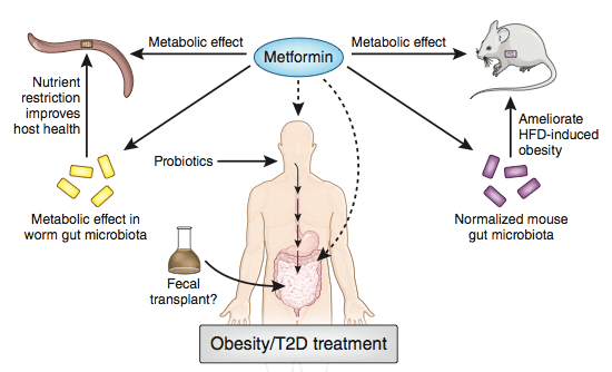 The gut microbiome and metformin