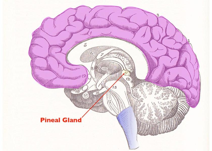 Brain and Pineal Gland. Right: René Descartes, De Homine (1662). Image