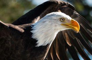 30 fatos interessantes sobre águias