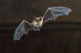 O morcego é o único mamífero capaz de voar.