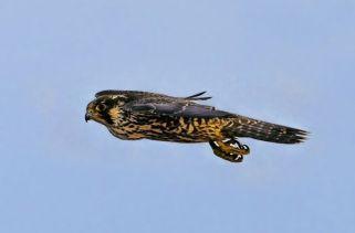 Os Pássaros Voadores Mais Rápidos Do Mundo