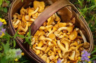 Tipos De Cogumelos Selvagens Comestíveis