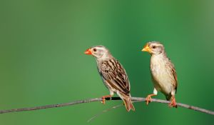 Os Pássaros Mais Comuns Do Mundo