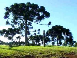 pinheiro brasileiro
