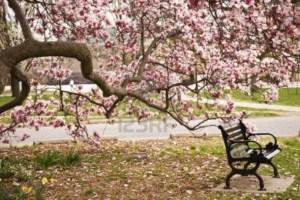 Prachtige-bloesem-op-de-magnolia-boom.1367224591-van-sonneke12