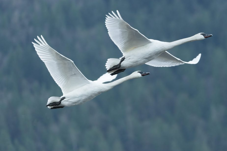 A morning with trumpeter swans.